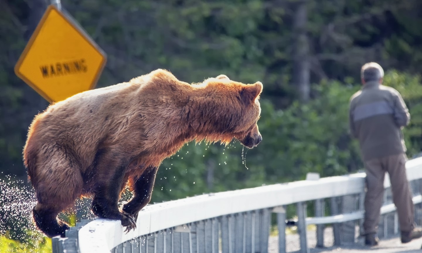 grizzly bear attacks - HD1440×864